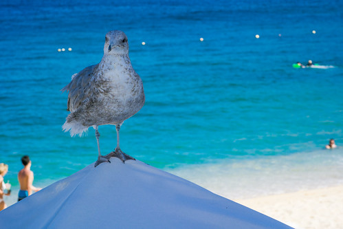 Seagull on a Sunshade at the Beach