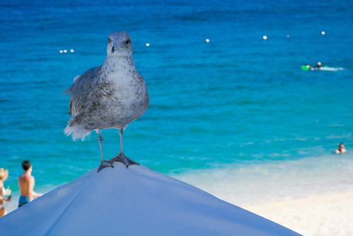 Seagull on a Sunshade at the Beach