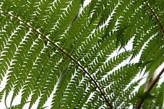 Feathery Ferns (eyriel) Tags: fern macro green leaf feather longwoodgardens feathery