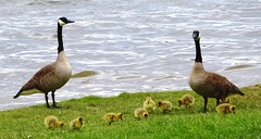 Family of Canadian Geese (bjebie) Tags: family ohio lake nature water geese goslings shore canadiangeese starkcountyohio walbornreservoir