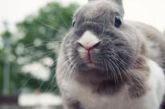 (Pumpkin Chief) Tags: life rabbit animal taiwan daily taipei sonynex3n nex