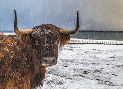 Hebridean hardy (Impact Imagz) Tags: winter hairy snow scotland cow highlands cattle horns gress westernisles isleoflewis outerhebrides hebrideancow hebrideancattle