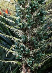 Puya (philipbouchard) Tags: chile sanfrancisco california flower turquoise teal unusual bromeliaceae shrub botanicalgarden puya puyaberteroniana puyaalpestris