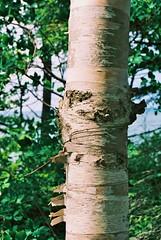 Birch tree - Northwoods (stevelamb007) Tags: usa tree up us michigan bark birch upperpeninsula northwoods stevelamb