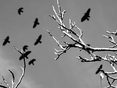 dark forces (tamasmatusik) Tags: crow crows black dark varjú varjak bw monochrome depression blackandwhite noiretblanc birds mood feeling feketefehér sony sonynex nex3n milc