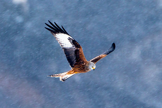 Red Kite / Milan Royal