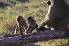 Baby Baboons at Play