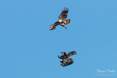 Juvenile Bald Eagle mid-air play sequence - 5 of 7