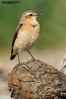 Northern Wheatear, Oenanthe oenanthe, summer plumage female.