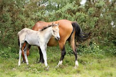 New Forest Ponies (yorkiemimi) Tags: uk england nature animal natur pony gb ponies pferd newforest lyndhurst