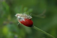coquelicot (bulbocode909) Tags: nature fleurs rouge vert printemps coquelicots veil