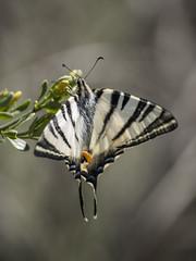 En costume rayé * (Titole) Tags: butterfly stripes papillon shallowdof flambé scarceswallowtail friendlychallenges titole nicolefaton