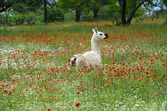 Llama in Wildflowers. (The Old Texan) Tags: digital spring nikon texas llama wildflowers