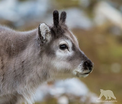 Reindeer Calf (fascinationwildlife) Tags: wild summer portrait cute nature up animal norway reindeer mammal close wildlife natur north norwegen svalbard arctic calf spitsbergen rentier kalb spitzbergen