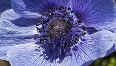 azul :) (Anemone coronaria) (Pat Celta) Tags: flowers flores flower macro primavera azul spring flora nikon d70 flor anemone florecillas coronaria macrofotografa