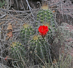 CAC037905a (jerryoldenettel) Tags: cactus flower nm cactaceae wildflower echinocereus echinocereustriglochidiatus 2016 claretcupcactus mogollon caryophyllales coreeudicots catronco