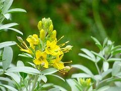 California Cleome / Bladderpod (Isomeris Arborea) (E. Stipke) Tags: california flower nature yellow center shipley arborea bladderpod isomeris cleome