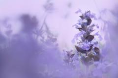 Softness (Dejan Hudoletnjak) Tags: pink plant flower soft blossom softness violet romantic gentle subtle milina gracefulness grafecul