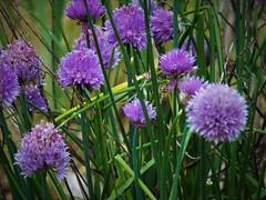Chives (MissyPenny) Tags: plants usa garden purple herbs lavender chives buckscounty bristolpennsylvania culinaryherb