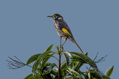 Neville 4847 (BlueberryAsh) Tags: bird animal nikon tamron backyardbird newhollandhoneyeater australianbird nativebird 150600 tamron150600 nikond750