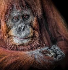 Orang-utan thoughts (RissaJT_23) Tags: animal canon zoo thought sigma thinking orangutan ape melbournezoo solitary primate mammalia contemplation humanlike sumatranorangutan canon6d zoosvictoria canoneos6d sigma120400
