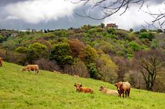 Latores, Oviedo (ccc.39) Tags: asturias bosque nubes nublado oviedo toro vacas latores
