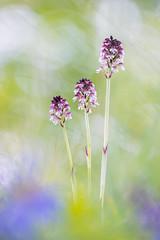 Brand-Knabenkraut (Orchis ustulata) (MichaSauer) Tags: orchid macro burnt brl orchidee makro kaiserstuhl orchis 150mm knabenkraut ustulata neotinea aangebrande bruciacchiata lorchide
