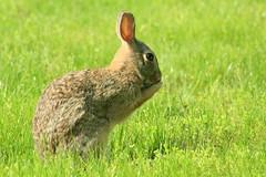 (Chelsea188) Tags: bun bunny rabbit animal nature cottontail grass green brown fur ears pray praying grooming cleaning turf wildlife wild