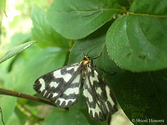 Cystidia couaggaria couaggaria (Shiori Hosomi) Tags: june japan tokyo moth insects  lepidoptera geometridae  2016    cystidia     23 entomon