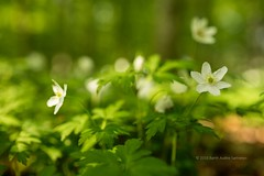 Wood Anemone Early In The Morning (B.AA.S.) Tags: flowers sunlight flower nature norway closeup forest sunrise woodland norge dof natur skog forestfloor blomst woodanemone skogbunn skogsbunn
