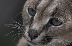 Caracal 2 (YuccaYellow) Tags: portrait pet nature face closeup cat eyes nikon caracal