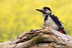 Great Spotted Woodpecker (ToriAndrewsPhotography) Tags: yellow photography woodpecker andrews bokeh great spotted tori rapeseed oilseed