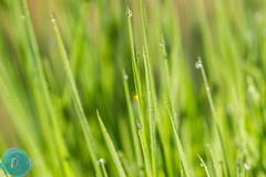 Gunnar and Ranata in LT Day 6 (_alcedo_) Tags: plants nature grass flora lithuania morningdew biodiversity nemunasdelta wildlifephotographers borisbelchev wwwalcedowildlifecom nemunodeltarp gunnarholmstedt