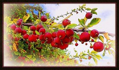 crabapples (milomingo) Tags: red plant newmexico southwest tree green texture apple nature fruit botanical outdoor grain albuquerque frame abq horticulture photoart crabapple coarse abqbiopark cmwd cmwdred a~i~a