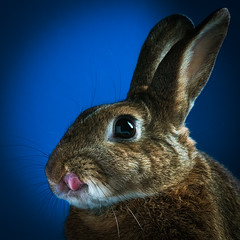 Grad Pic (Jeric Santiago) Tags: pet rabbit bunny animal tongue conejo lapin hase kaninchen   winterrabbit