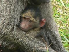 Safe in Mum's Arms ! (Mara 1) Tags: africa baby face animals outdoors eyes kenya wildlife mother mara monkeys masai