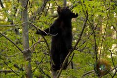 LRa05-25-16a-4712 (Glotzsee) Tags: bear park trees tree nature outdoors virginia wildlife climbing blackbear shenandoahnationalpark nationalgeographicwildlife glotzsee