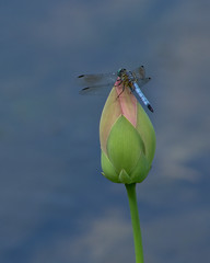 Dragonfly on lotus bud (KsCattails) Tags: macro insect nikon lotus dragonfly kansas bud overlandparkarboretum d7000 kscattails