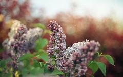 Lilas - Smell of spring (umeshuroku) Tags: spring nikon nikonf100 lilas cinestill cinestill50