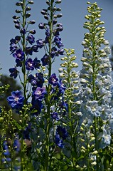Singin' The Blues (catmccray) Tags: bluesky delphinium blueflowers bluedelphinium hudsonbotanicgardens
