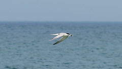 _DSC1660 (chriswheatley97) Tags: obx outer banks nc north beach sand ocean carolina bird fish