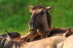 IMG_3408 (clarissa griffioen) Tags: horses brown green nature field wildlife natur ears curious wildhorses fryslan horseriding lauwersmeer konik equuscaballus konikpaarden konikpaard konikspaarden