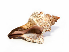 Trapezium Horse Conch Shell on White Background (DigiPub) Tags: stilllife brown horizontal closeup cutout spiral photography pattern philippines beijing nopeople sealife collection whitebackground simplicity seashell studioshot hobbies copyspace shape onsale discovery esp gastropod revised gettyimages 2012 humaninterest conchshell singleobject colorimage beautyinnature pickingup animalshell 320380 542143304