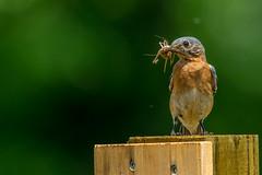Female Eastern Bluebird (Bill Varney) Tags: food female bug babies feeding bokeh bluebird eastern billvarney
