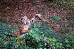That's mine (Cloudtail the Snow Leopard) Tags: animal cat mammal jump feline katze sprung lynx tier pforzheim wildpark springen luchs sugetier