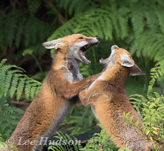 Red fox cubs (pied flycatcher) Tags: redfox fox vulpesvulpes leehudson play playful red showingoff exploring