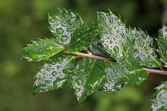 Water Drops on Leaves Macro (hbickel) Tags: waterdrops water macro macrolens leaves photoaday pad canont6i canon