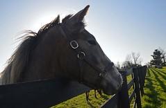 Sheltowee Farm KY_DSC5966 (kellogs621) Tags: horses portraits kentucky ky sheltoweefarm