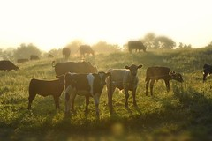 This morning, the good Lord blessed me with a million dollar backyard view! (SaltyDogPhoto) Tags: morning light sunset sun beautiful beauty field animals fog sunrise cow backyard nikon warm cows bokeh pennsylvania farm country foggy depthoffield pa pasture dairy nikkor livestock warmlight countrylife intothesun countryliving intothelight dairycow nikonphotography nikkorafs50mm118g nikond7200 saltydogphoto