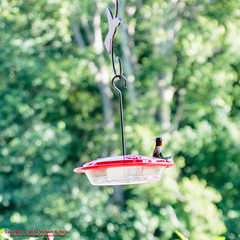 Ruby-throated Hummingbird (mikerhicks) Tags: bird canoneos7dmkii edwinwarnerpark hiking nashville nature photography rubythroatedhummingbird summer tamronaf1750mmf28spxrdiiivc tennessee usa unitedstates vaughnsgap wildlife geo:lat=3606086000 geo:lon=8690622500 geotagged outdoors geo:location=vaughnsgap exif:focallength=50mm geo:lat=3606086 camera:model=canoneos7dmarkii camera:make=canon geo:city=nashville geo:country=unitedstates geo:state=tennessee exif:aperture=ƒ35 exif:lens=1750mm exif:model=canoneos7dmarkii geo:lon=86906225 exif:isospeed=500 exif:make=canon